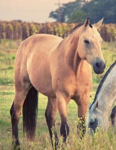 equino-criollo