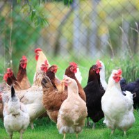 5 Major Reasons Why Poultry Farming is so Lucrative in Nigeria