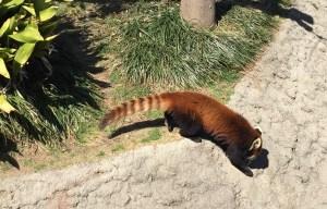 王子動物園のレッサーパンダ