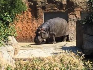 王子動物園のカバ