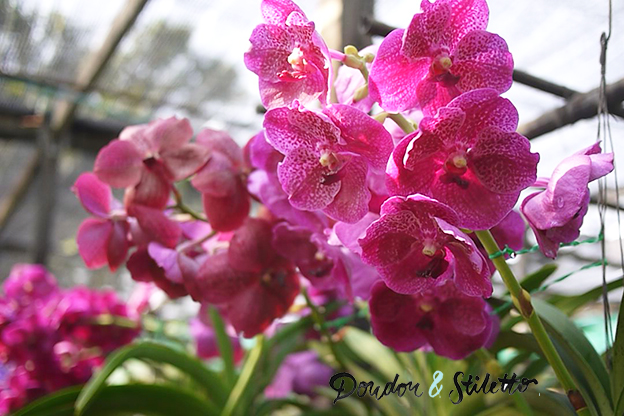 Chiang Mai orchidées