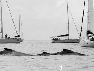 Whale watching at Hamilton Island. Photo: Nic Douglass, Adventures of a Sailor Girl