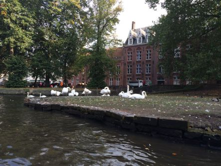Some of the swans of Bruges.