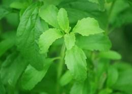stevia-74187