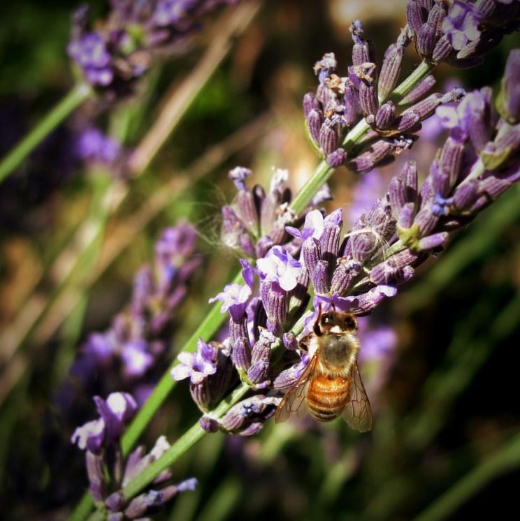 Bee lavendar