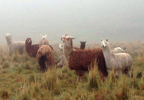 Alpacas, die Wollträger der Anden. Bild: SWR/Peter Sonnenberg
