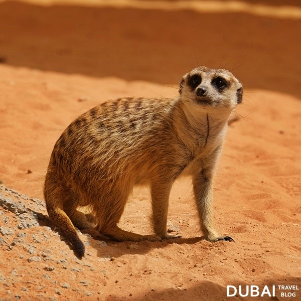 al ain zoo meerkat animal