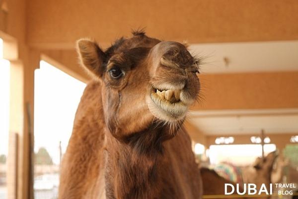 camel al ain