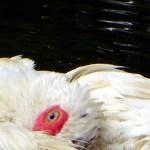 duckbath16