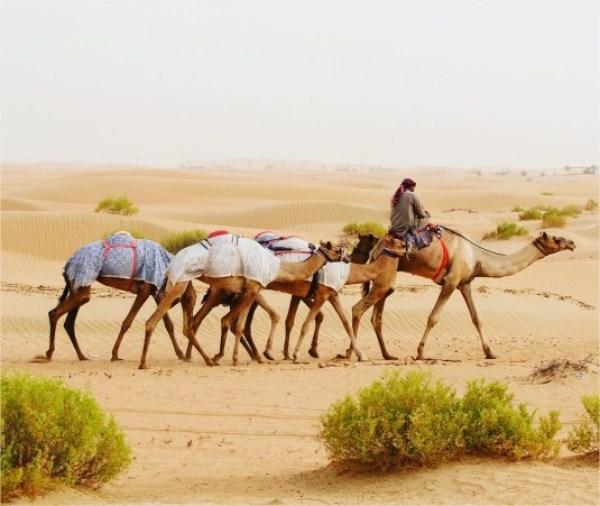 pustynia wielblady emiraty arabskie wakacje