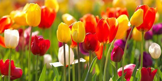 gambar-bunga-tulip-4