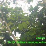 Jamoon Tree
