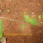 amla leaves