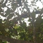 haritaki tree