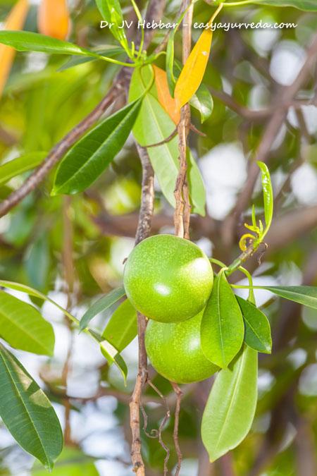 Saptaparna fruit