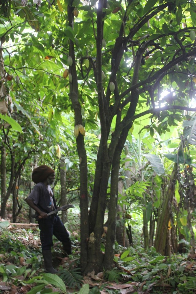 Harvesting cocoa at Belmont Estate, Grenada