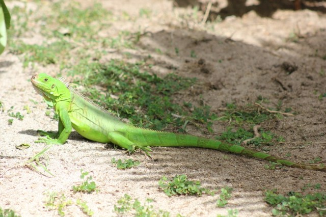 A fantastic little - actually quite big - fluoro iguana!