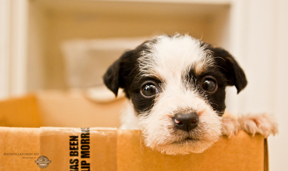 Isolated puppy in box moving present gift christmas