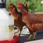 Chicken vaccines