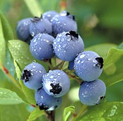 blueberries-1.jpg