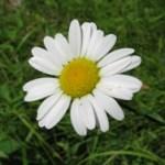 upstate NY daisy
