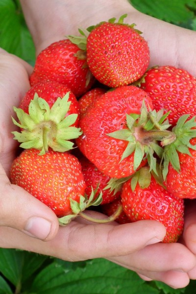 Strawberries: Super-Hero Or Super-Villain?