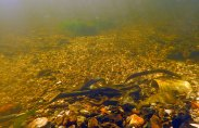 River lamprey spawning (12)