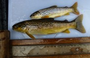 Brown-trout-electrofishing