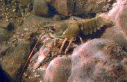 White-clawed-crayfish