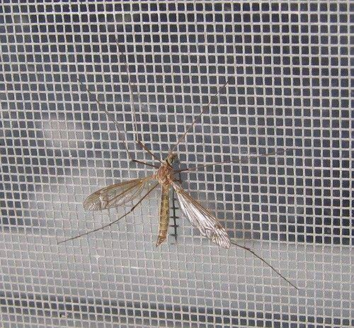 Mosquito netted window screen