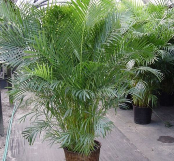 The Areca Palm