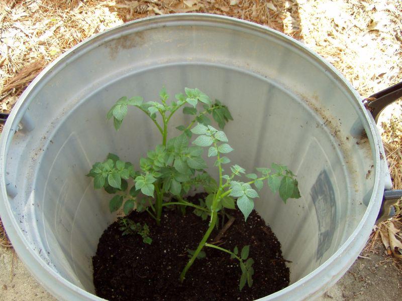 4 pasos sencillos para cultivar 45 kg de patatas en un barril 3