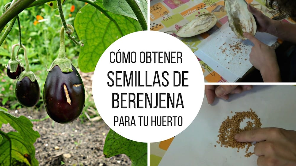 Como obtener semillas de berenjena