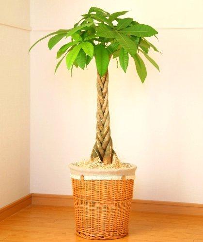 パキラ7号鉢(ナチュラルバスケット) 【観葉植物】