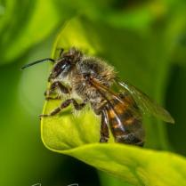 African honeybee close-up3 - photo by Joe Smereczansky