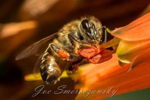 African honeybee - photo by Joe Smereczansky