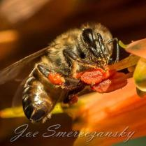 African honeybee - photo by Joe Smereczansky