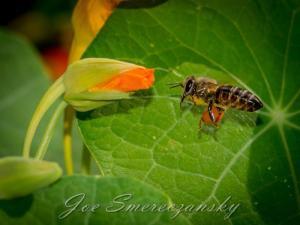 African honeybee - pollen adventure