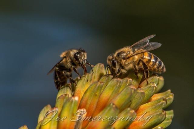 African honeybee - pollen - nectar