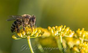 African honeybee yellow2 - photo by Joe Smereczansky