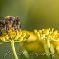 African honeybee yellow2 - photo by Joe Smereczansky