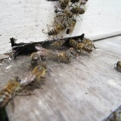 Honeychild - Beekeeping Theory in Rheenedal 1h