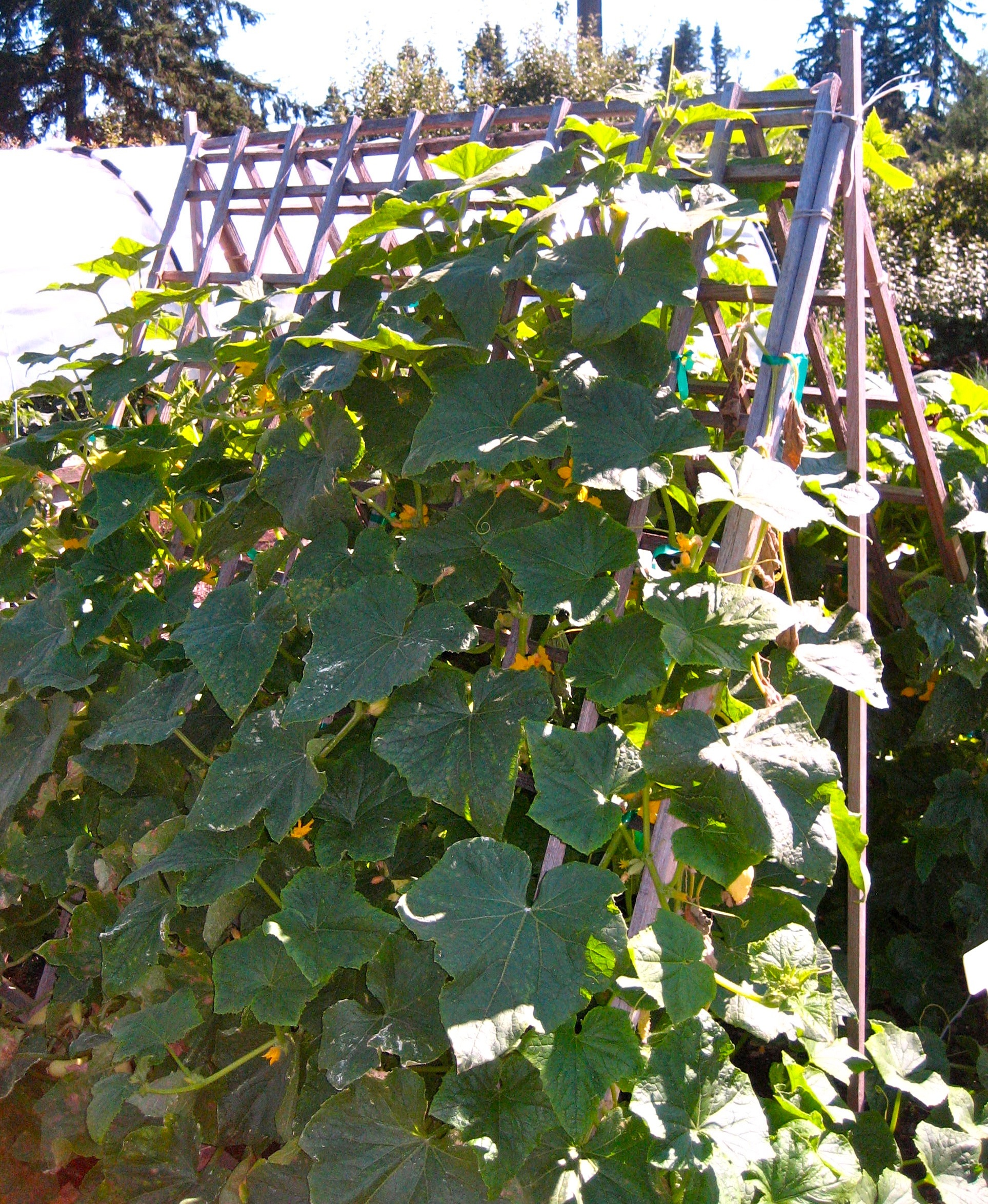 cucumber vine on a frame trellis for support