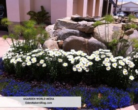 Lobelia, chrysanthemum and papayrus garden bed