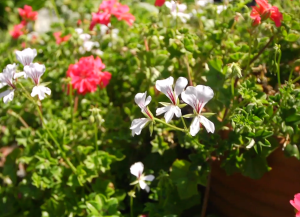 Ivy_Leaved_geraniums_Shirley_Bovshow_EdenMakers_Blog