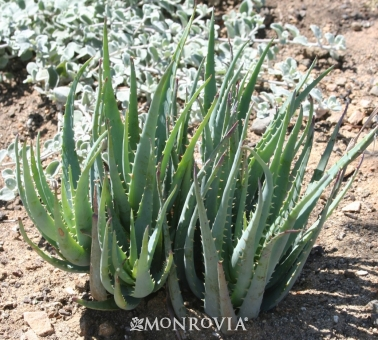 blue-elf-aloe-vera-monrovia-plants