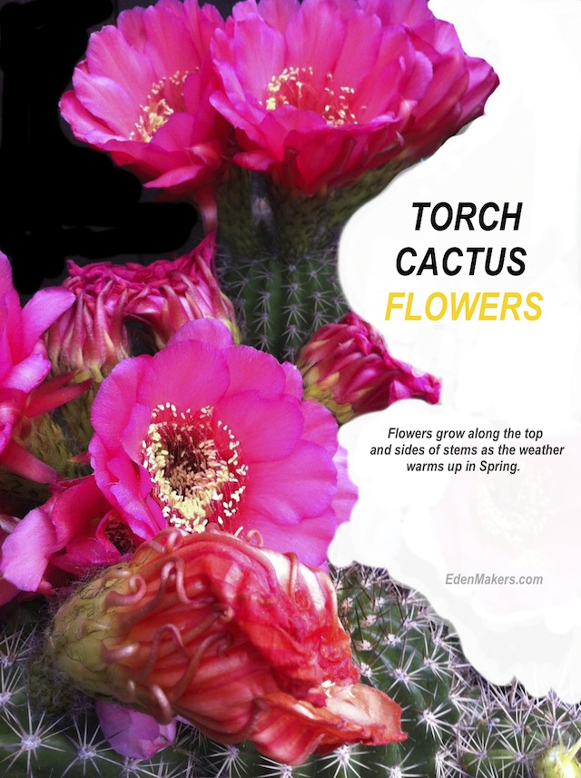 The torch cactus is a spiny plant with gorgeous flowers that emerge from the tops and sides of stem