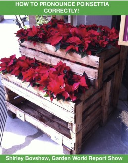 Poinsettia Plants for Christmas and Holidays. Do you know how to pronounce Poinsettia correctly?