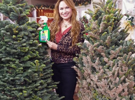 Shirley-Bovshow Applies Wilt-Pruf-anti-transpirant compound to a Christmas-Tree -on Home and Family Show to keep it Fresh