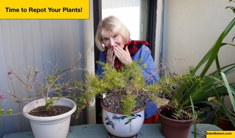 Neglected-houseplants-need-repotting-Shirley-Bovshow